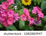 phlox. polemoniaceae. growing... | Shutterstock . vector #1082883947