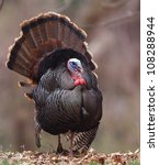 Wild Tom Turkey Walking On The...