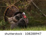 Wild Turkey Gobbler  In Lush...
