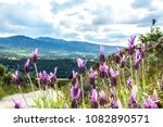 lavandula pedunculata  french... | Shutterstock . vector #1082890571