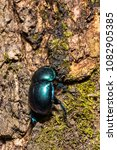 Small photo of Dung beetle or Oreina sp. Coleoptera (Chrysomelidae) Beetle
