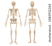 human skeleton in front and... | Shutterstock .eps vector #1082932265