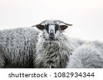 white sheep isolated. sheep...