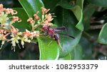 Small photo of Purplish-red wasp hunting for nectar