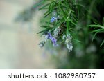 rosemary herb branches with... | Shutterstock . vector #1082980757