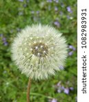 out of bloom dandelion flower ... | Shutterstock . vector #1082983931