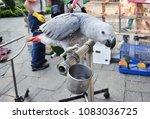 the grey parrot psittacus... | Shutterstock . vector #1083036725