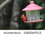 bright red male northern... | Shutterstock . vector #1083069515