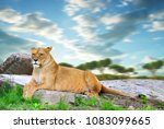 Lioness Lying On A Rock At...