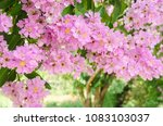 lagerstroemia speciosa or queen'... | Shutterstock . vector #1083103037