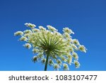 giant hogweed   a giant hogweed ... | Shutterstock . vector #1083107477