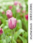 beautiful of colorful tulip... | Shutterstock . vector #1083113081