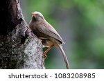 Small photo of common babbler BIRD