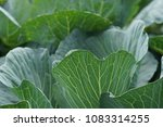 raw fresh organic young cabbage ... | Shutterstock . vector #1083314255