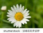single chamomiles solo standing ...   Shutterstock . vector #1083319109