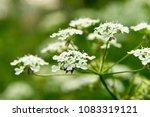 blossom tree. nature background....   Shutterstock . vector #1083319121