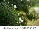 white flowers on briar rose bush   Shutterstock . vector #1083319199
