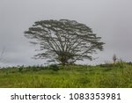 Small photo of The invasive Albizia tree is a big problem on Hawaii Big Island. Especially in hurricane season many branches break off and form a threat for people and the environment.