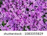 carpet of pink flowers growing... | Shutterstock . vector #1083355829