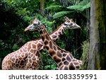 wild animals in taman safari ... | Shutterstock . vector #1083359591
