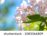 Small photo of Bud cute flowers of Kalmia