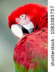 Red Macaw Isolated From...