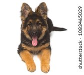 a beautiful puppy is the german ... | Shutterstock . vector #1083465029