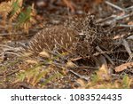 echidnas sometimes known as... | Shutterstock . vector #1083524435
