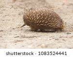 echidnas sometimes known as... | Shutterstock . vector #1083524441
