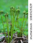 Small photo of Growing fern frond unfurling