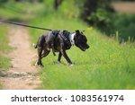 staffordshire bull terrier ... | Shutterstock . vector #1083561974