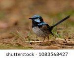 the superb fairywren  malurus... | Shutterstock . vector #1083568427