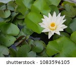 Small photo of Bloom White Litus and green lotus leaf on water in pond