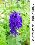 delphinium purple flower in... | Shutterstock . vector #1083648827