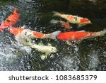 koi  fishs  are  swimming. | Shutterstock . vector #1083685379