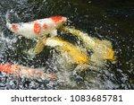 koi  fishs  are  swimming. | Shutterstock . vector #1083685781