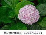 Blooming Hydrangea Macrophylla...