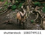 caucasian mountain goat with... | Shutterstock . vector #1083749111