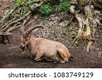 the caucasian mountain goat... | Shutterstock . vector #1083749129