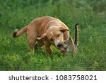 Stock photo the dog licks the cat puppy and kitten playing 1083758021