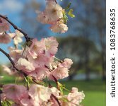 cherry sakura flowers | Shutterstock . vector #1083768635
