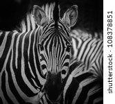 Animal Zebre Portrait