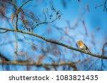 the european robin  erithacus... | Shutterstock . vector #1083821435