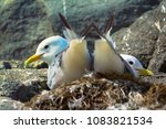 couple of kittiwakes gulls... | Shutterstock . vector #1083821534