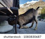 "Small photo of A goat sticking its head under a bench in a funny pose. In Italy we have a doggerel, saying ""under the bench the goat dies"", so it was twice as funny."