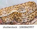 hungarian meadow viper  vipera... | Shutterstock . vector #1083865997