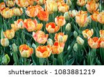 orange parrot tulips with... | Shutterstock . vector #1083881219