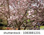 beautiful magnolia x... | Shutterstock . vector #1083881231