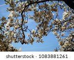 beautiful branches of  magnolia ... | Shutterstock . vector #1083881261