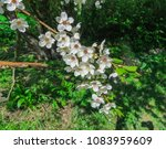 snow white branches of blooming ... | Shutterstock . vector #1083959609